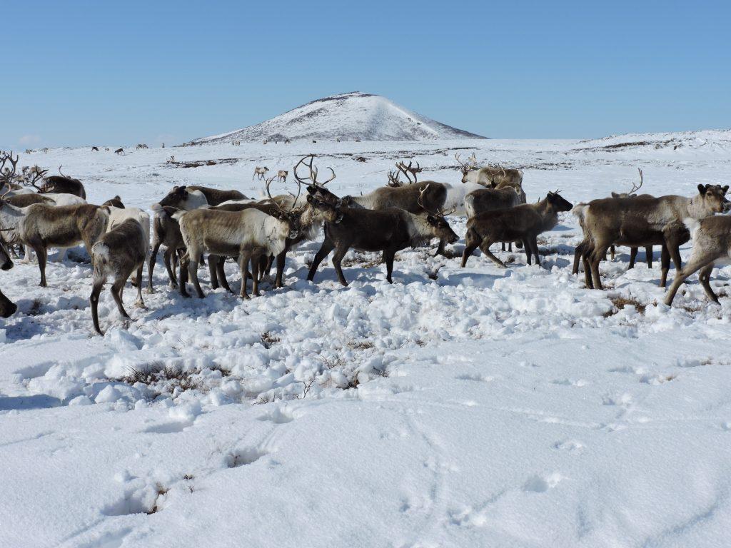 Les rennes au taboun (camp des éleveurs de rennes situé dans la toundra)