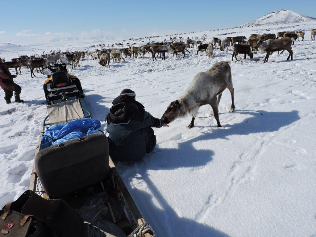 touriste donnant du sel aux rennes